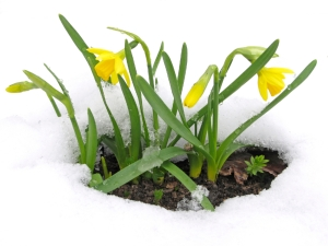 daffodils_in_snow